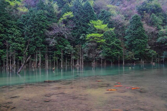 立ち枯れの木と錦鯉