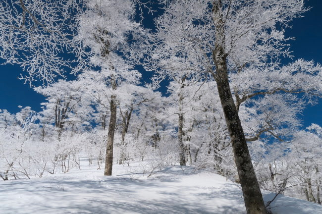奥大山の霧氷の森